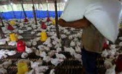 CCTV untuk Peternakan Ayam