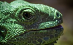 Close-up of green iguana at Colchester Zoo